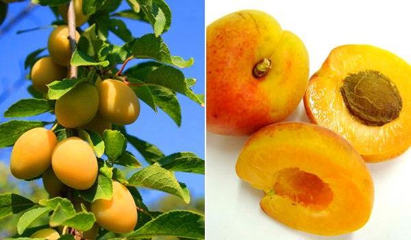 Frutas de verano (IV): El albaricoque